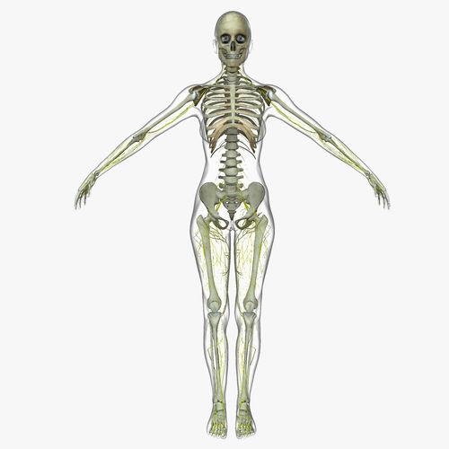 Human male and female nervous system 3d model cgtrader human male and female nervous system 3d model obj fbx ma mb mtl mel 4 ccuart Images