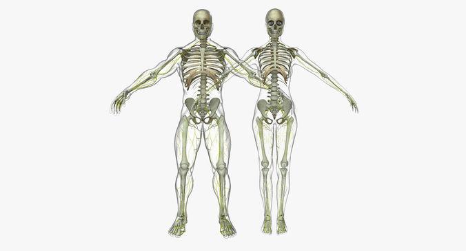 human male and female nervous system 3d model obj mtl fbx ma mb mel 1