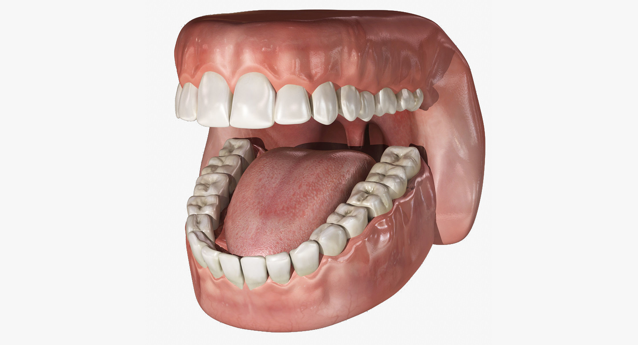 Human Mouth With Teeth Rigged