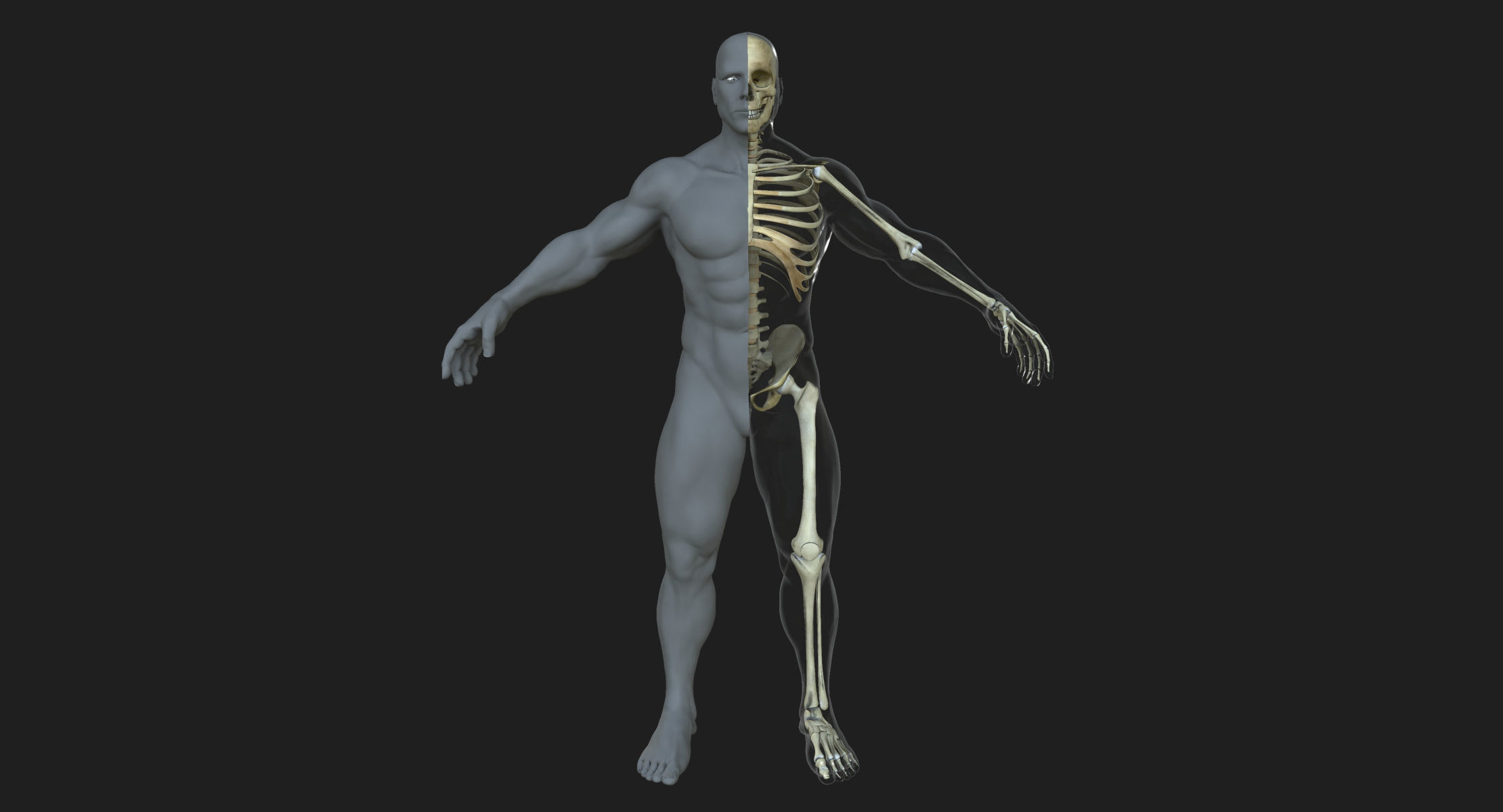 Male Skeleton with Skin | 3D model