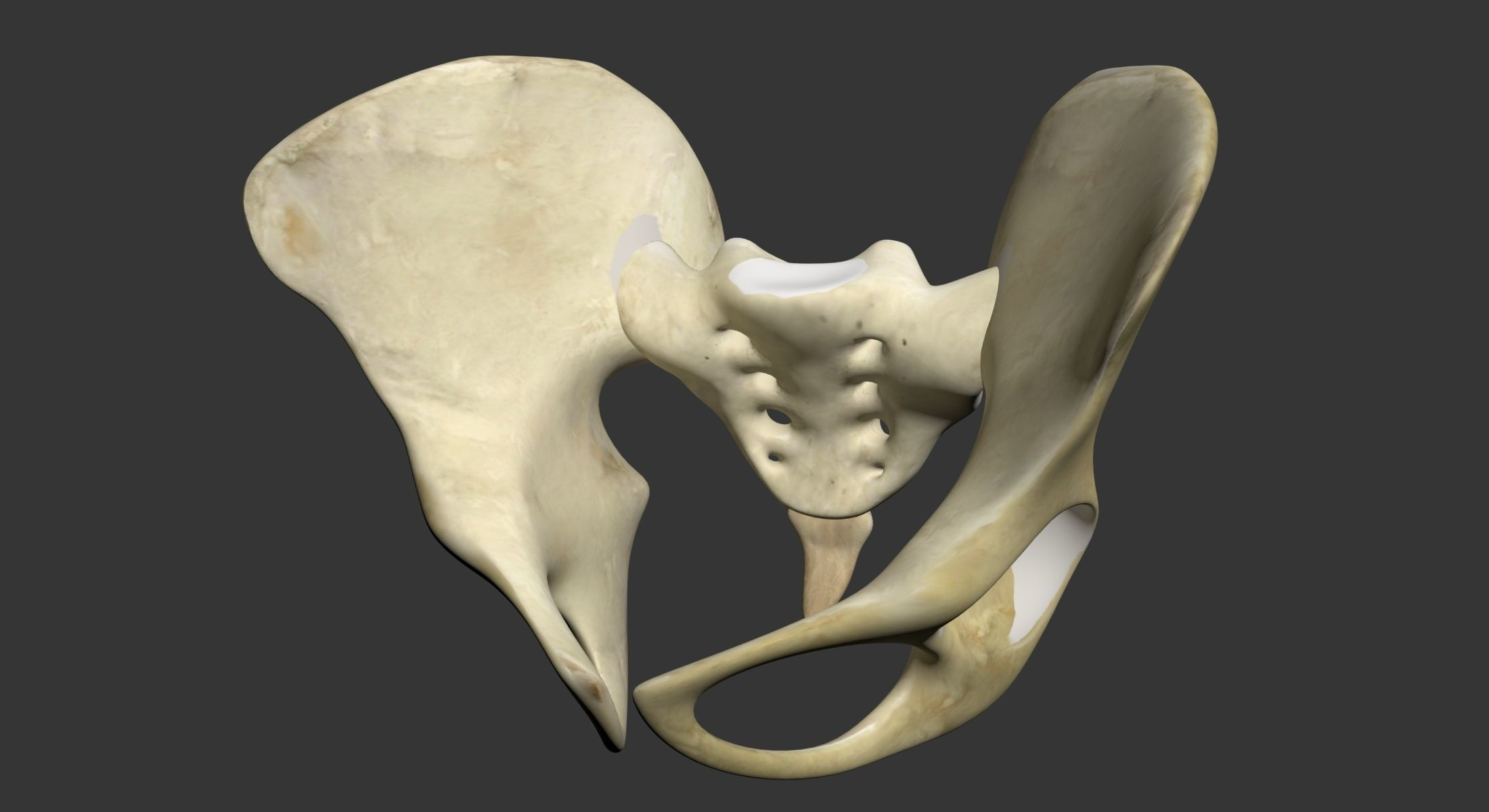 3d Human Pelvis Cgtrader