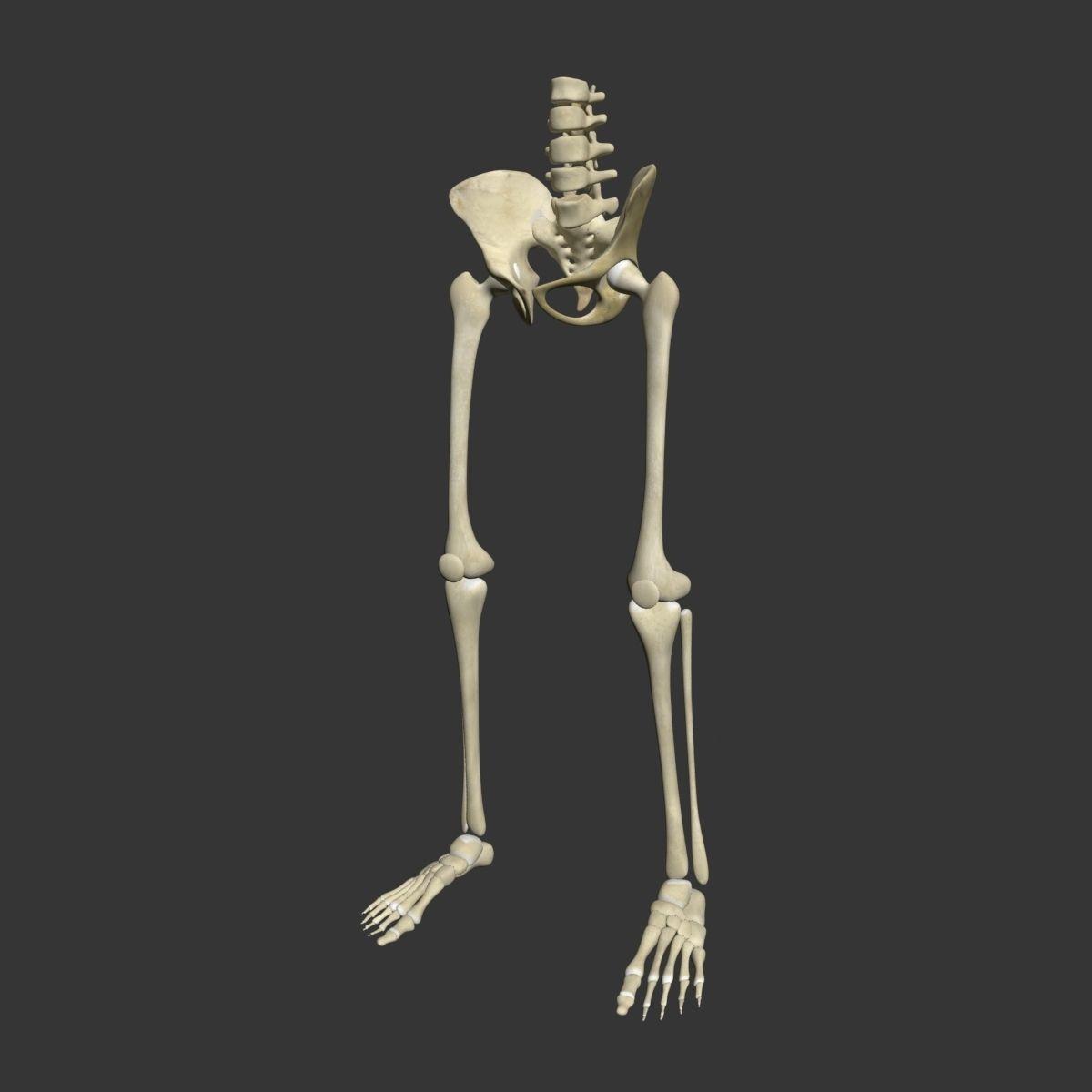 Human Skeleton Legs 3d Model Cgtrader