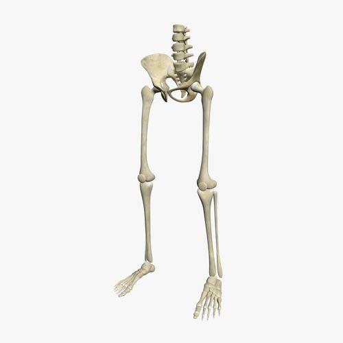 human skeleton legs 3d model max 1