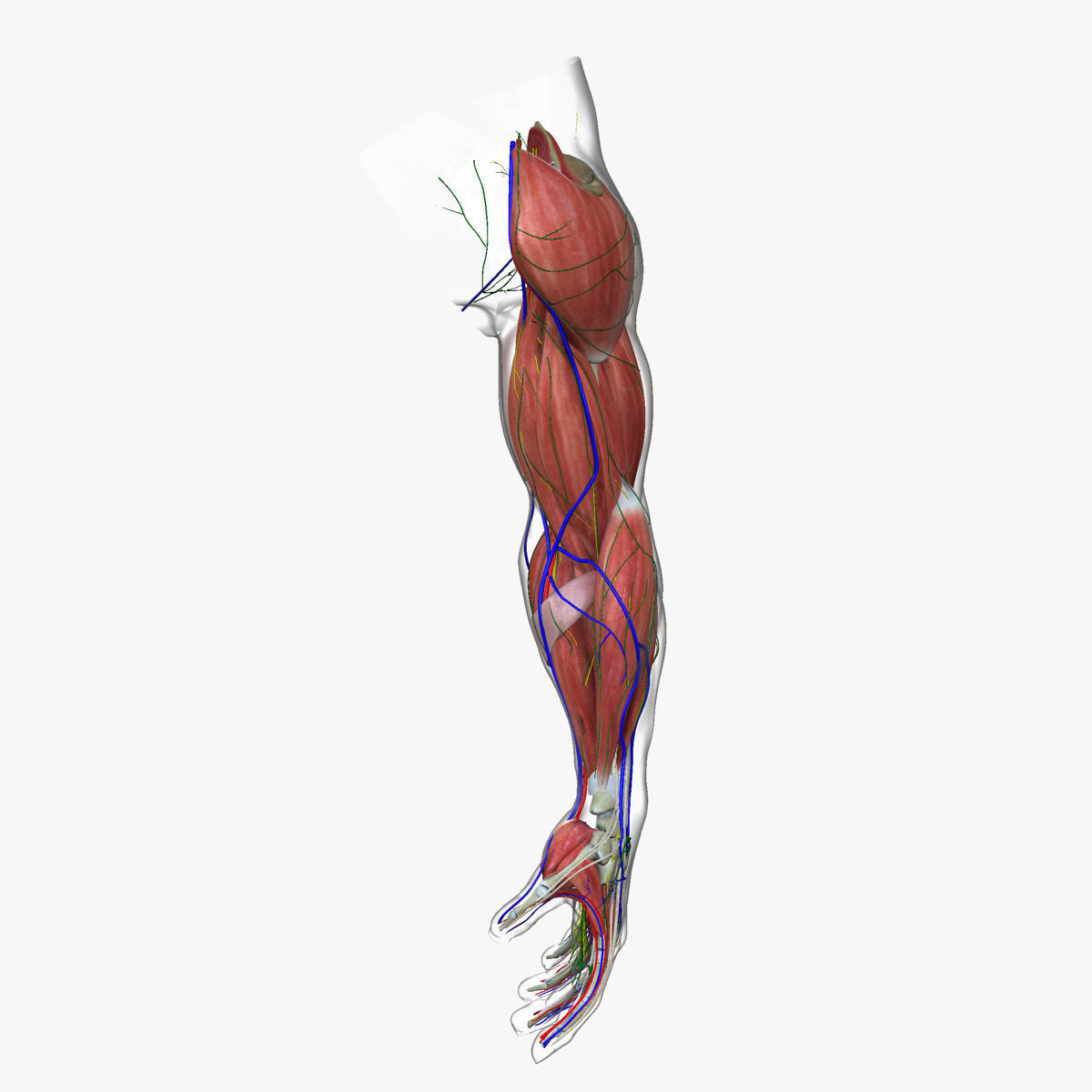 Complete Male Arm Anatomy 3D | CGTrader