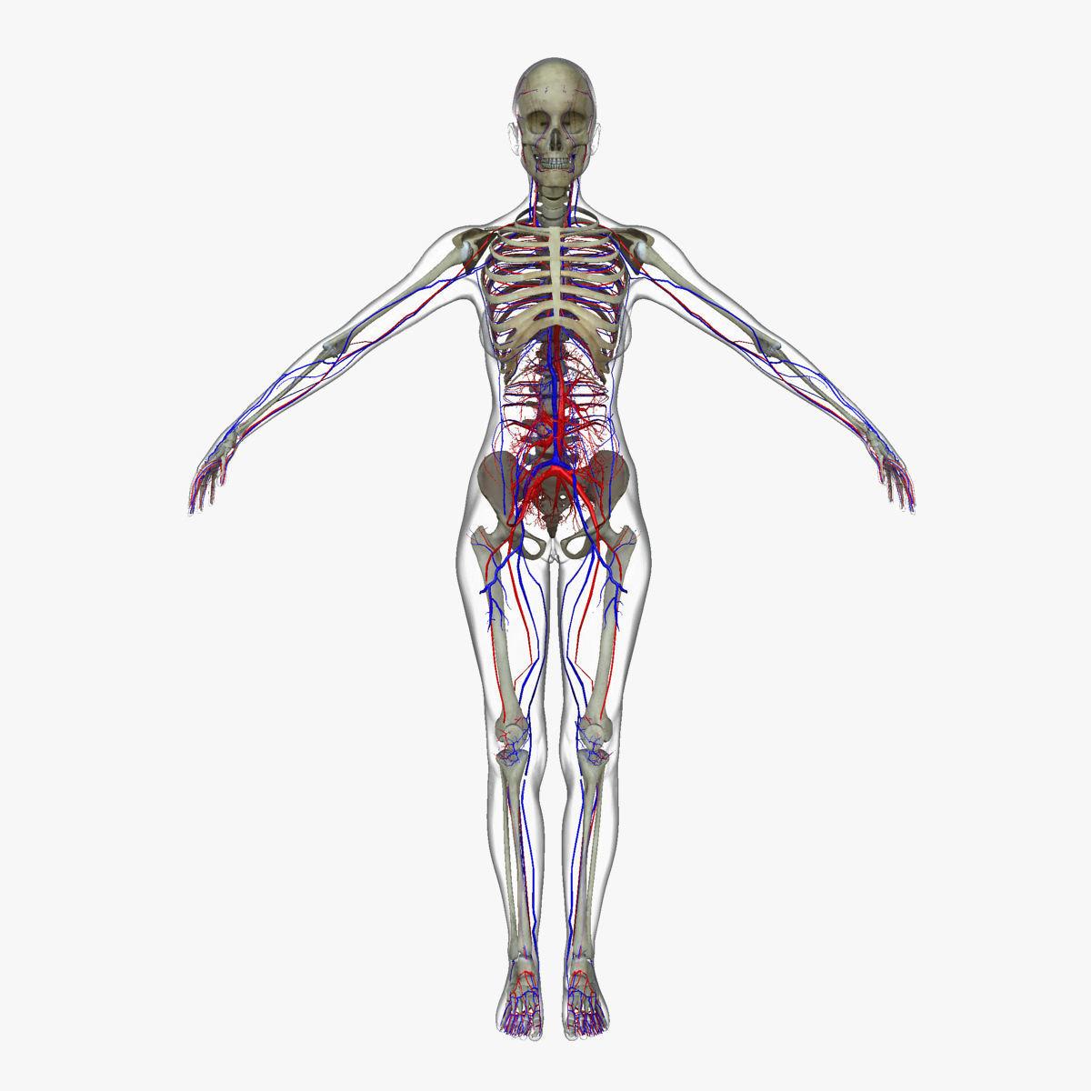 Female Circulatory System Anatomy 3d Model Cgtrader