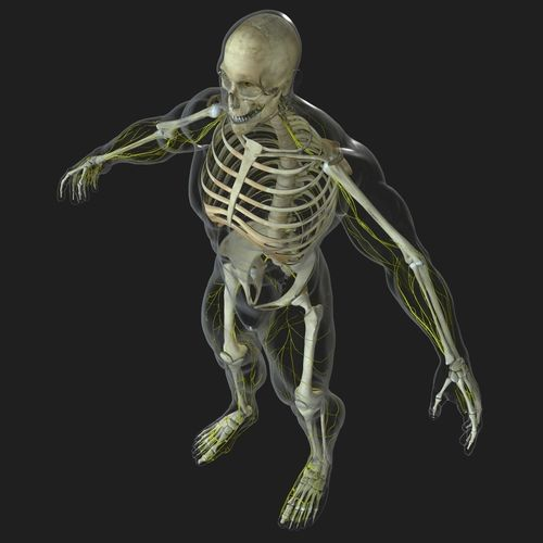 human central nervous system with skeleton 3d model obj mtl fbx ma mb mel 1