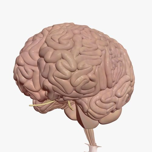 Human Brain With Inner Structure
