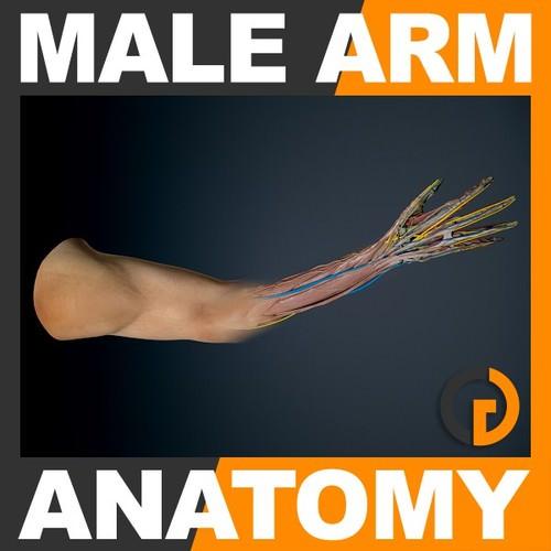 Human Male Arm Anatomy3D model