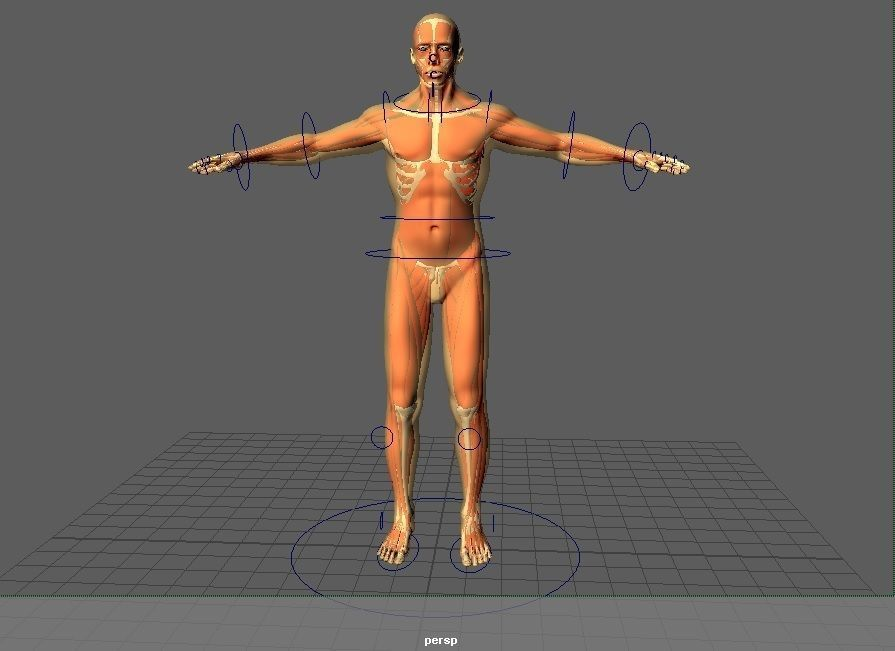3d Model Human Anatomy Male Rig Cgtrader