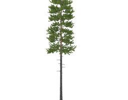 Pine height 30 metre 3D model