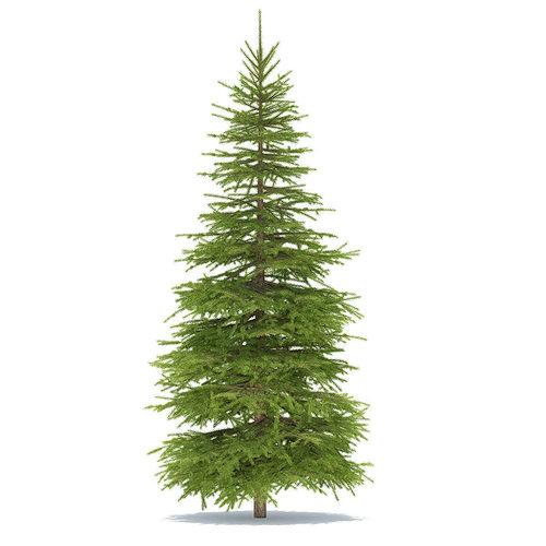 spruce height 7 metre 3d model max obj mtl fbx tga 1