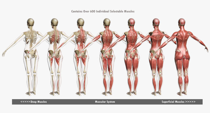 Male and Female Muscle Anatomy Combo 3D | CGTrader