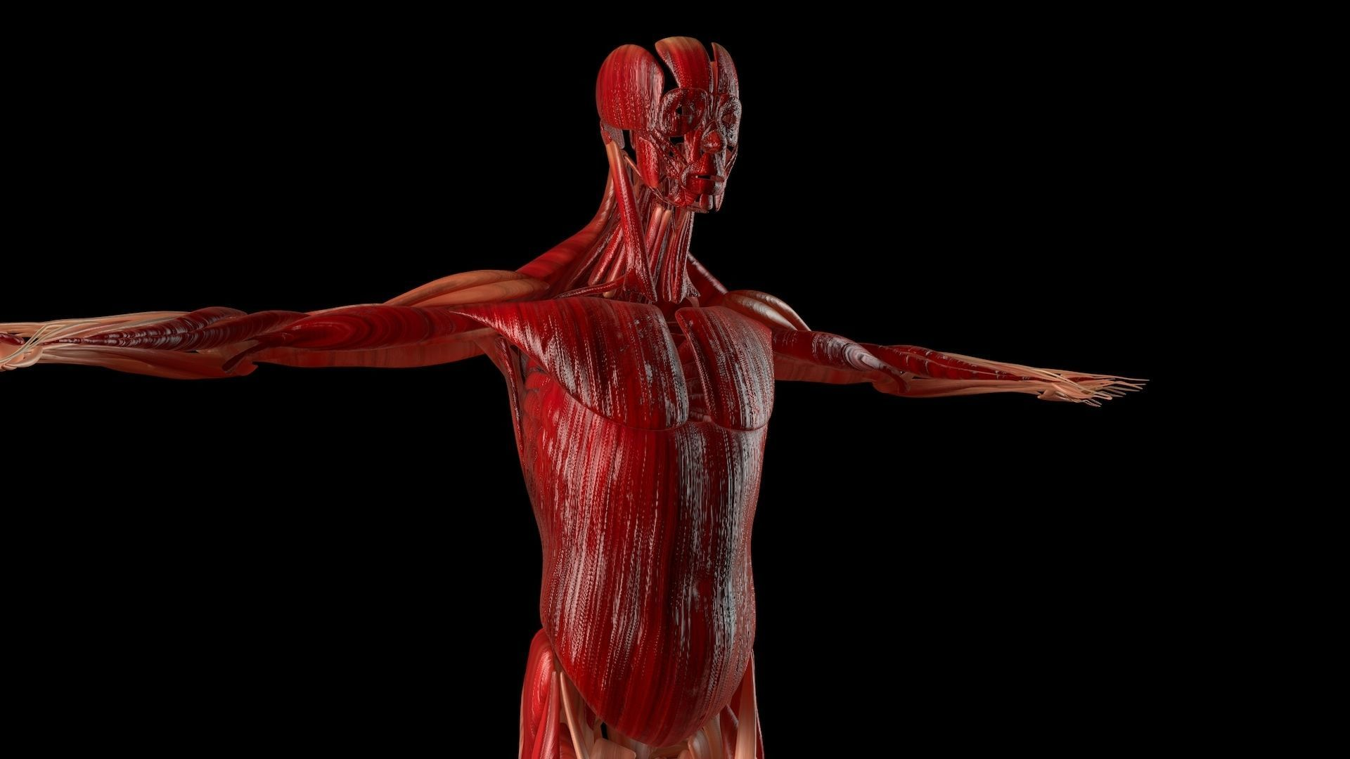 Muscular System Human Body Collection 3d Model