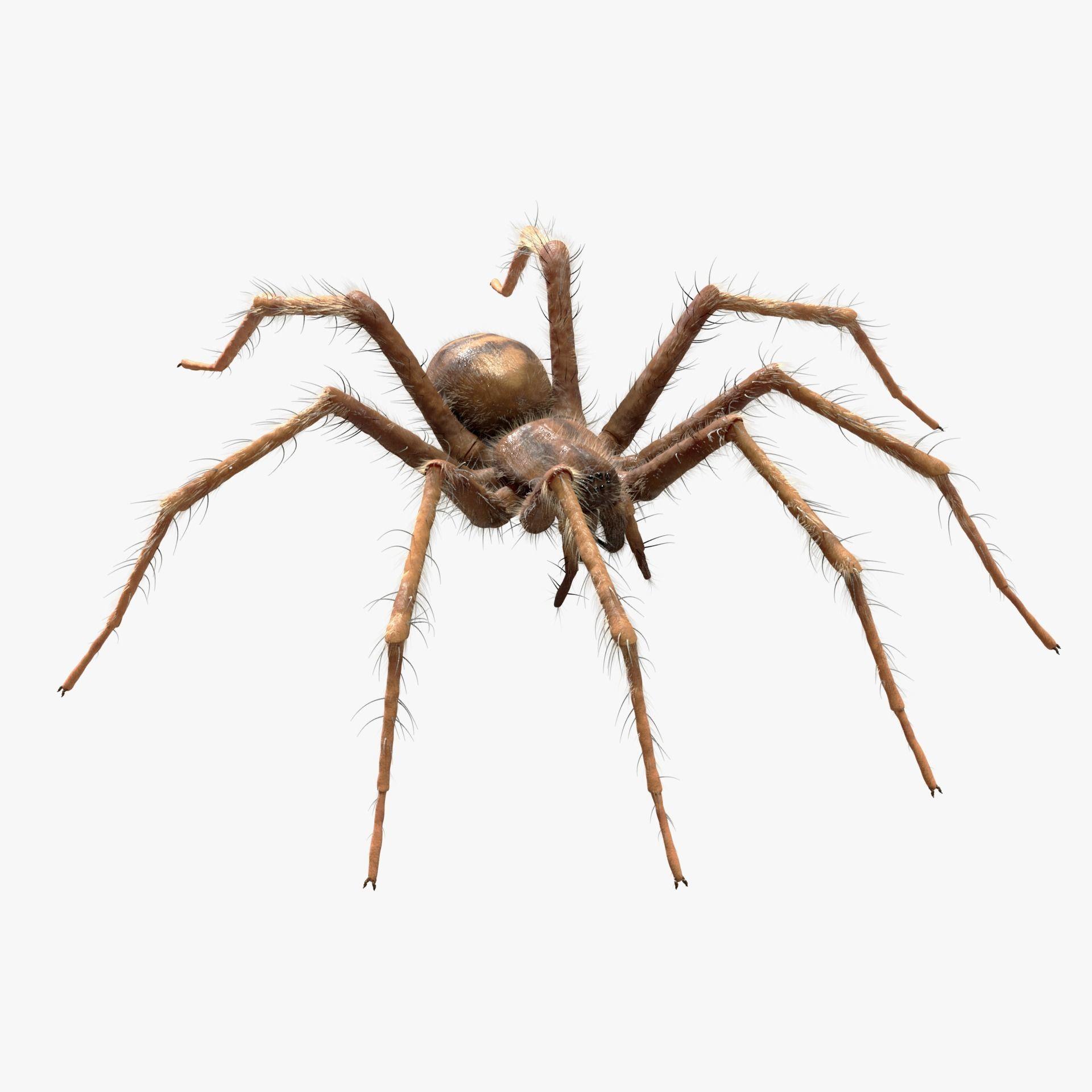 Domestic Spider - Tegenaria Domestica