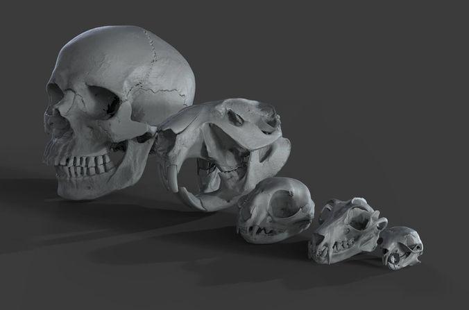 scanned skulls various  3d model obj mtl ztl 1