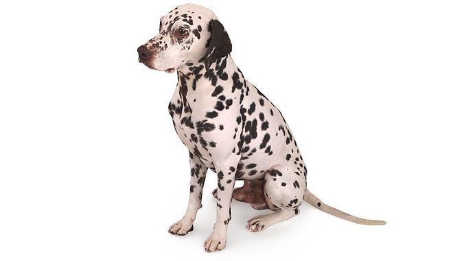 dalmatian dog sitting 3d model max obj mtl 3ds fbx stl skp 1