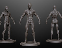 Male Ecorche Rest Pose 3D Model