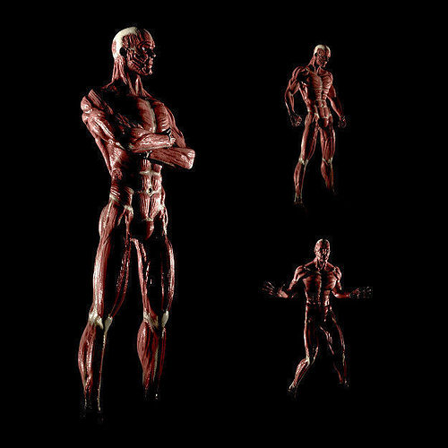 Magnificent Live Anatomy Model Frieze - Anatomy And Physiology ...
