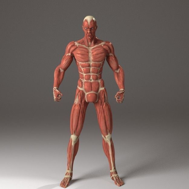 3d Model Anatomy Of A Man Cgtrader