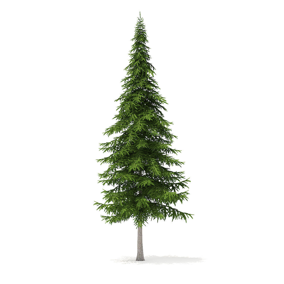 Fir Tree 10m