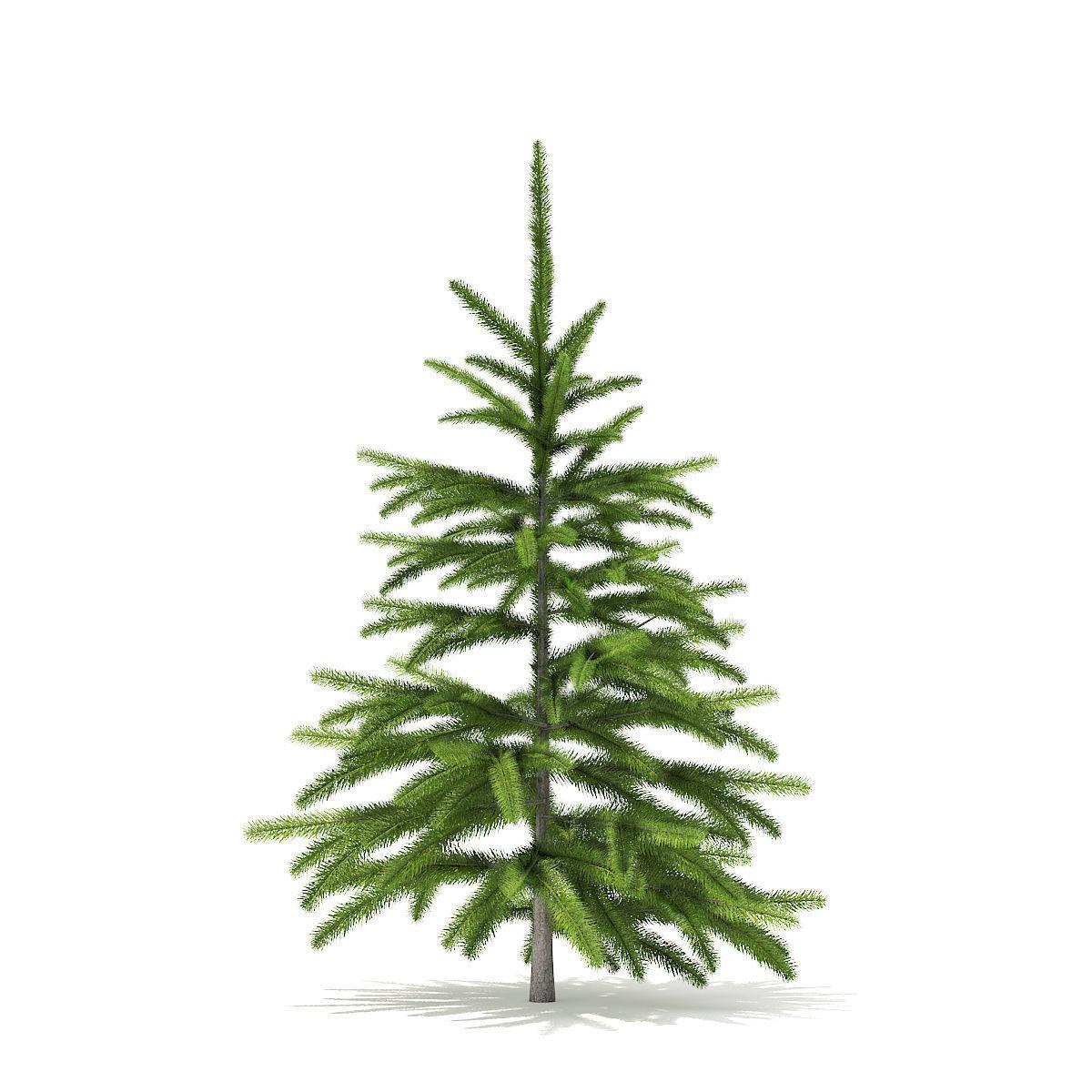 Fir Tree 0point8m