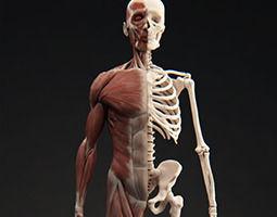 male muscular system 3d model obj tga