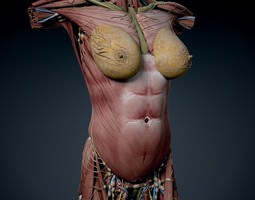 Human Female Torso Anatomy 3D Model