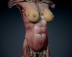 human female torso anatomy 3d model max obj 3ds fbx c4d lwo lw lws