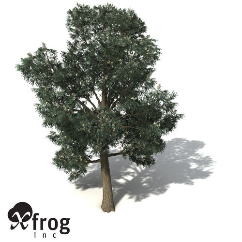 XfrogPlants Blue-Gum Eucalyptus3D model
