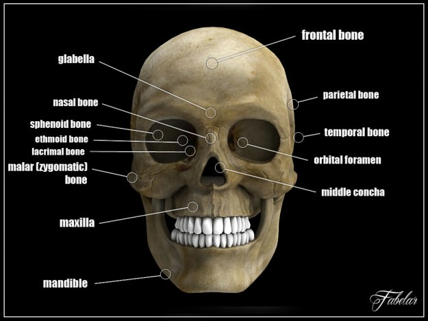 sphenoid bone 3d model – citybeauty, Human body