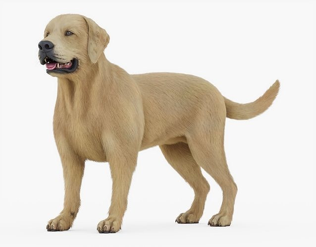 labrador retriever rigged with fur 3d model rigged obj mtl 3ds fbx stl blend dae 1