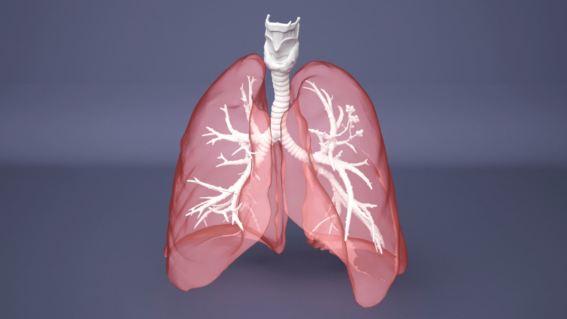 Human Lung with Bronchia - Anatomy Respiratory System