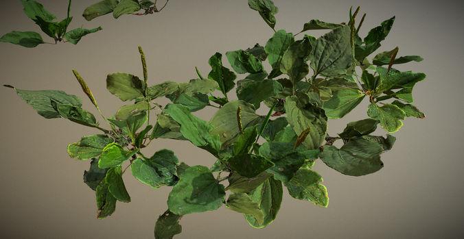 photorealistic broadleaf plantain - plant for ground coverage  3d model max obj mtl 3ds fbx 1