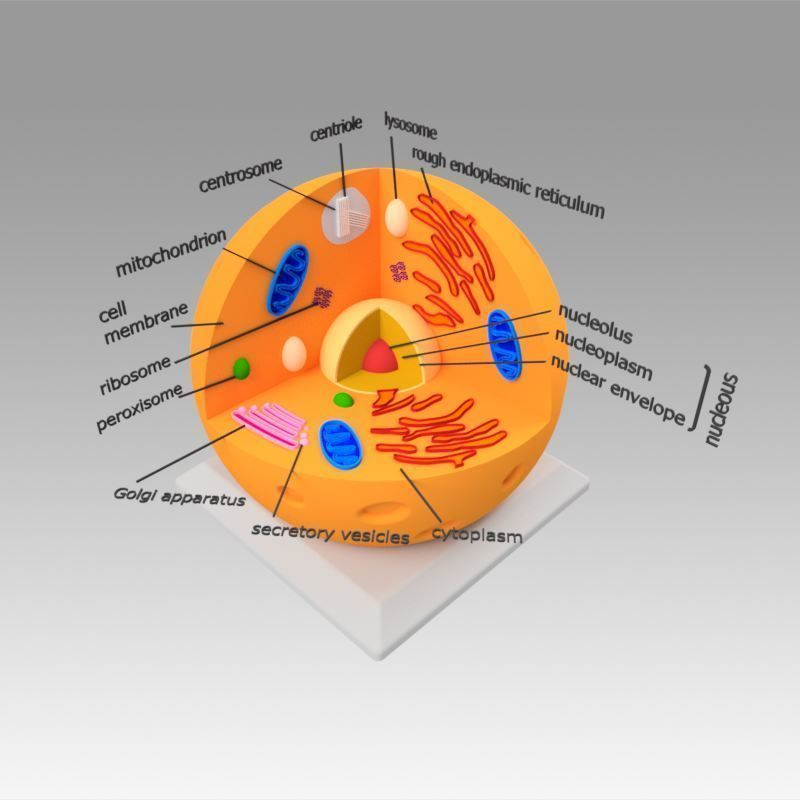 dna Animal Cell 3D model   CGTrader