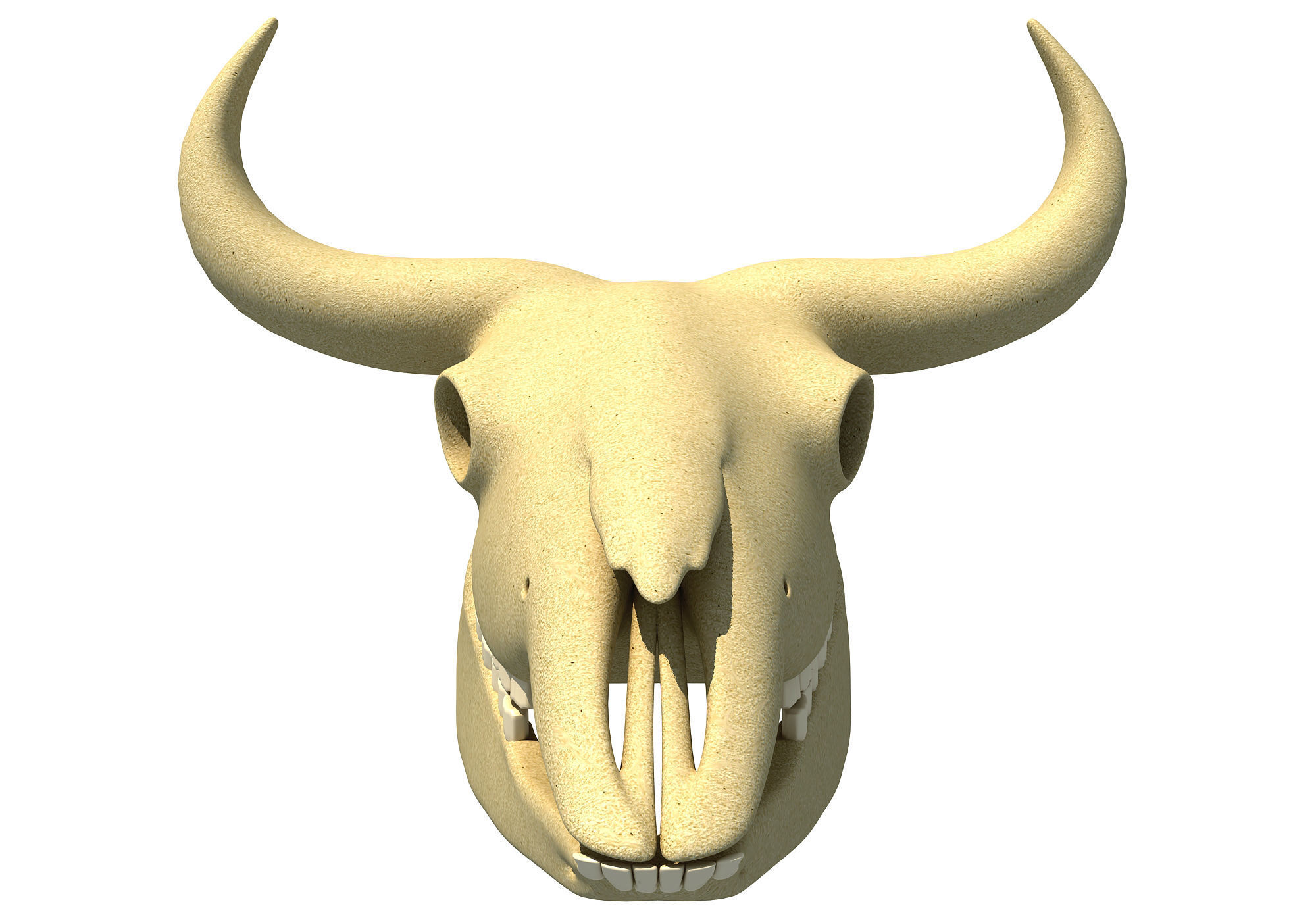 Bison Skull - Animal Skulls