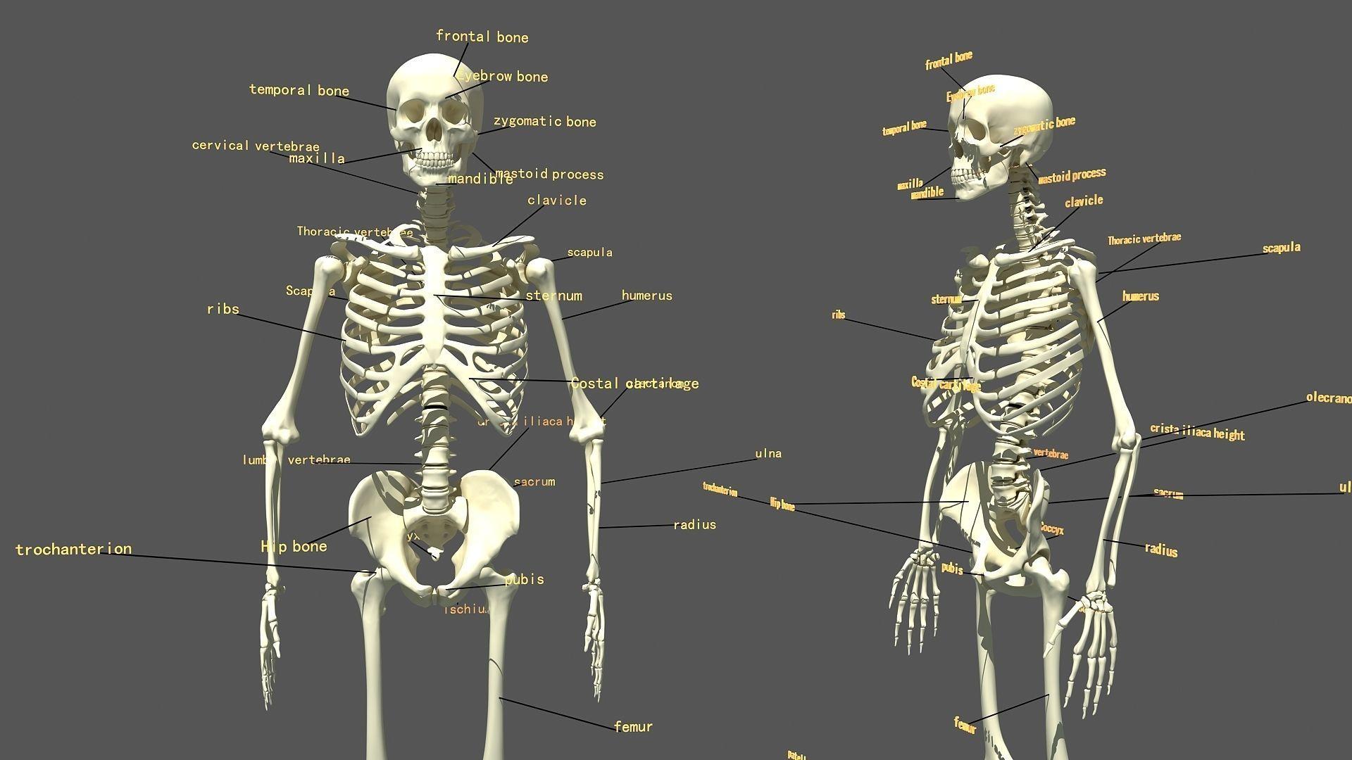 Human Skeleton | 3D model