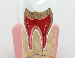 Human Tooth Anatomy Model game-ready