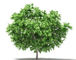 3D model Pomelo Tree