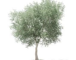 3D model Olive Tree olea
