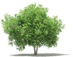 Common Fig Tree 3D model