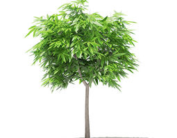 3D Mango Tree