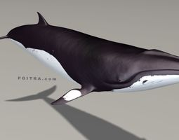 3D model Minke Whale - Balaenoptera Acutoro - Adult Male 3