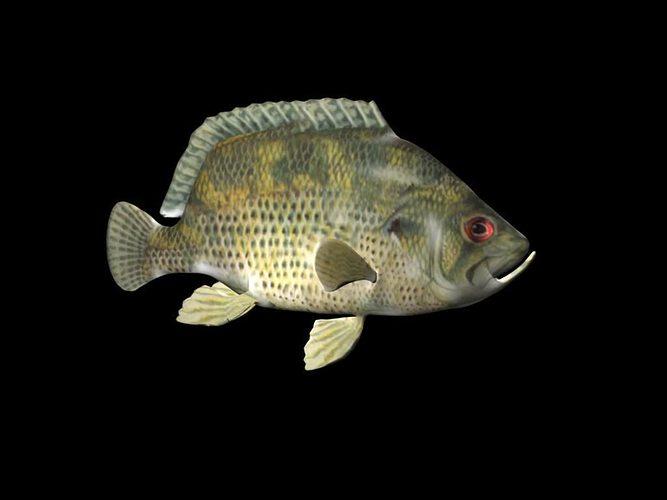 rock bass fish 3d model low-poly ma mb 1