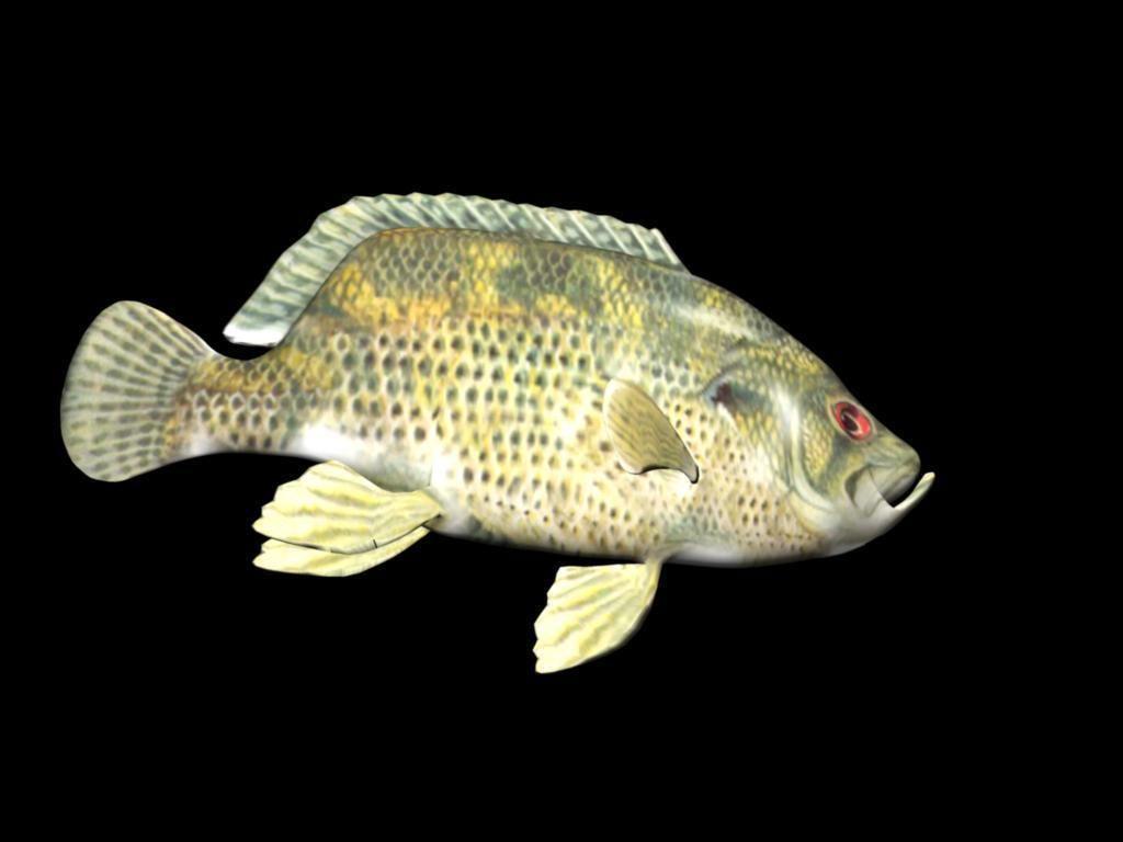 Rock bass 3d model ma mb for Rock bass fish