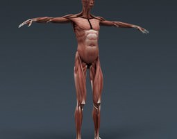 Human Female Body Muscular System and Skeleton - Anatomy 3D Model