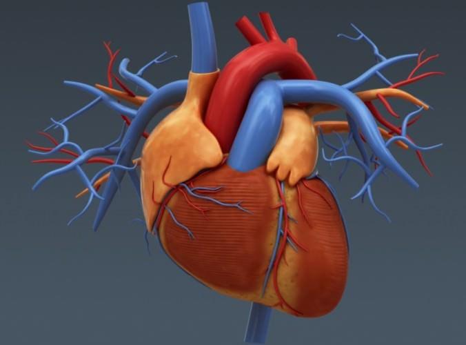 Human Female Body and Circulatory System -...