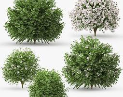 Hibiscus bush white 3D
