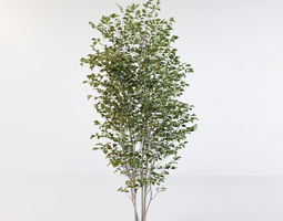 Fraxinus griffithii Tree 3D model