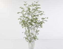 Fraxinus griffithii Tree 2 3D model