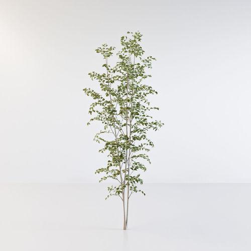 fraxinus griffithii tree 3 3d model obj mtl fbx c4d 1